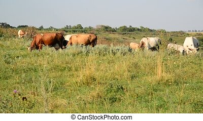 herd of cows grazing in meadow - herd of cows grazing in a...