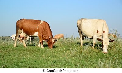 Motley cow nibbling the grass in meadow - Motley cow...