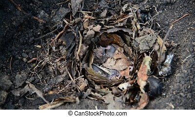 Newborn little mice in nest of the field - Newborn little...