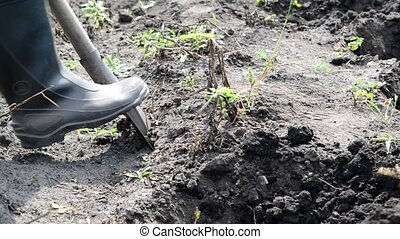 Man digs up potatoes out of the ground with a shovel
