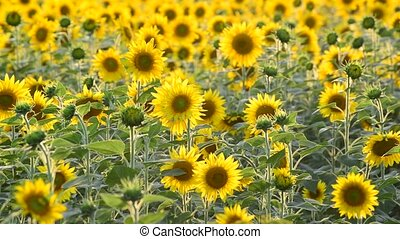 Field of sunflowers in sunset light - Field of sunflowers in...
