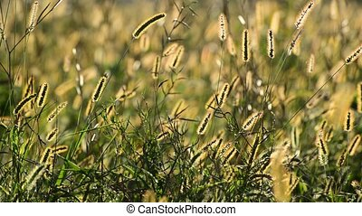 Meadow grass in setting sun - Meadow grass in the setting...