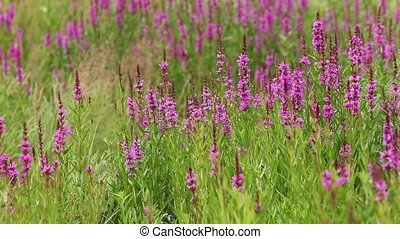 flower purple crybaby grass - flowering crybaby grass...