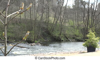 chestnut conker tree buds and flowing river water. 4K -...