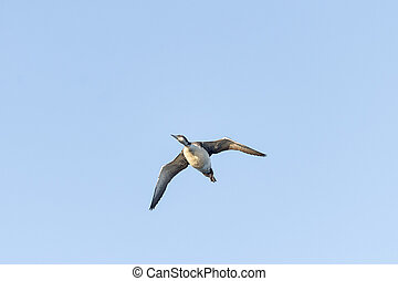 Common Loon overflight - Heavy-bodied Common Loon cruising...