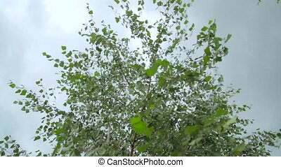 Wind blowing birch leaves in cloudy weather. Close up - Wind...