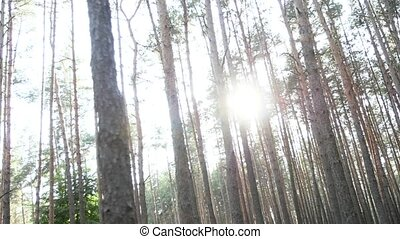 Sun breaks through the pine forest, pine forest, cloudy...