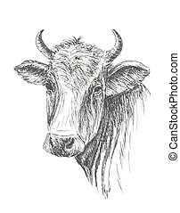 Face of Cow hand drawn on white background
