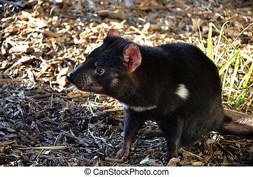 Tasmanian Devil - Australian marsupial carnivore, the...