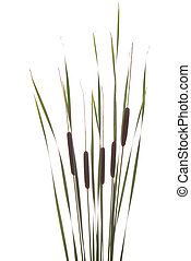 cattails - big brown cattails stands on white background