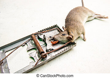 dead rat killed by rat-trap