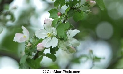 Sprig of cherry blossoms. Close up - Sprig of cherry...