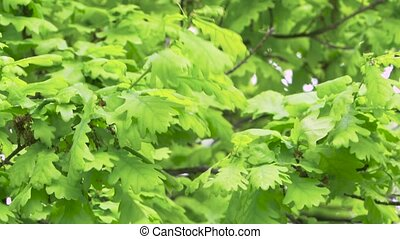 Fresh young green oak leaves in bright sun light. Close up -...