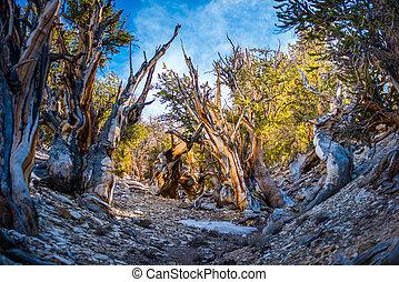 Ancient Bristle Cone Pinte Great Basin - Bristlecone Pine...