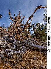 Ancient Bristle Cone Pinte Great Basin - Bristle Cone Pine...