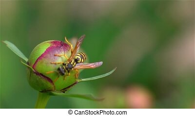 Wasp on the flower bud. Close up - Wasp on the flower,...