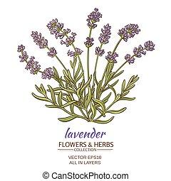 lavender vector illustration - lavender flowers on white...