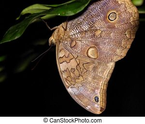 Owl butterfly Catoblepia soranus - Roosting upside down at...