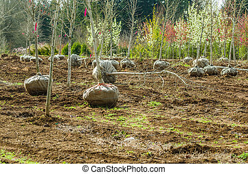 Trees dug and baled at a nursery - Landscape trees dug at...
