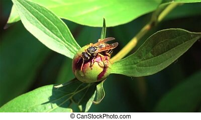 Bee working on blossom tree in a garden. Close up - Bee...