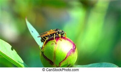 Bee gathering pollen. Close up - Bee gathering pollen, bee...