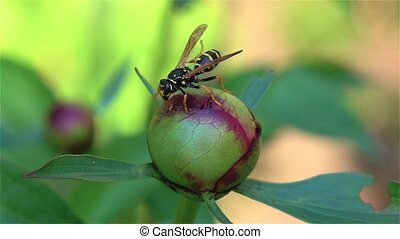 Bee on the flower. Close up - Bee feeds on a flower...