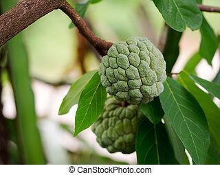 Green Sugar Apple or Custard Apple fruit growing on a tree.