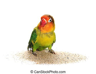 Lovebird isolated on white Agapornis fischeri (Fischer's...