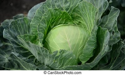 Head of cabbage in garden close-up - Head of cabbage in the...