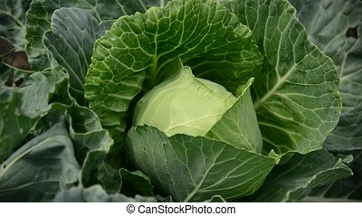 Head of cabbage in garden - Head of cabbage in the garden...
