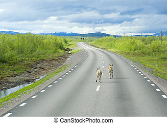 Deer running on the way of Lapland