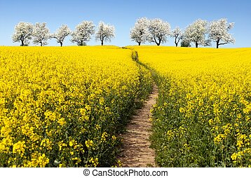 Rapeseed field with parhway and cherry trees - Rapeseed...