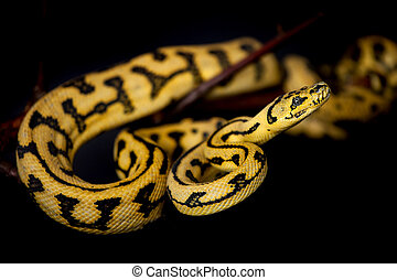 Jungle Jaguar Carpet Python on black - Jungle Jaguar Carpet...
