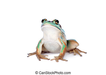 The green and golden bell frog on white - The green and...