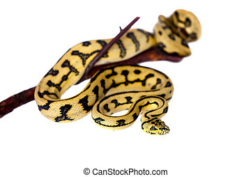 Jungle Jaguar Carpet Python on white - Jungle Jaguar Carpet...