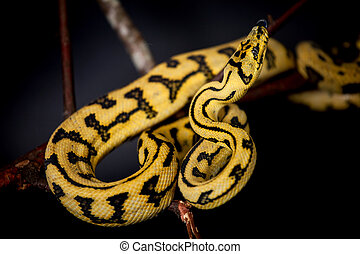 Jungle Jaguar Carpet Python on black - Jungle Jaguar Carpet...