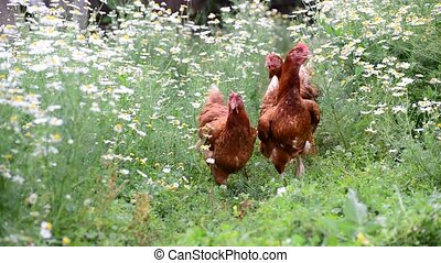 Hens eating grass in nature - A Hens eating grass in nature