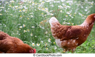 Pedigree Hens eating grass in nature - A Hens eating grass...