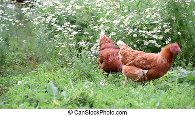 Hens eating grass in nature