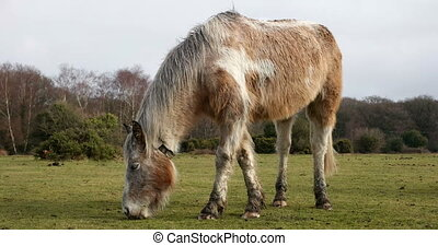 Wild pony on a green field - Wild white pony grazing on a...
