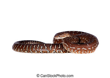 Centralian carpet python on white - Centralian carpet...