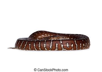 Centralian carpet python on white - Centralian carpet...