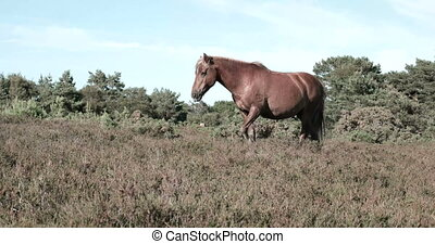 Wild horse - Free wild brown horse walking on a green field...