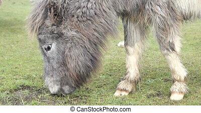 Wild pony on a green field - Wild white pony grazing on a...