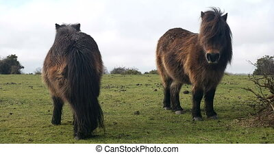 Wild pony on a green field - Two ponys standing on a green...