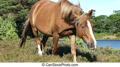 Wild horse - Free wild brown horse walking and grazing on a...
