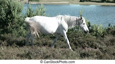 Wild horse - Free wild white horse walking on a green field...
