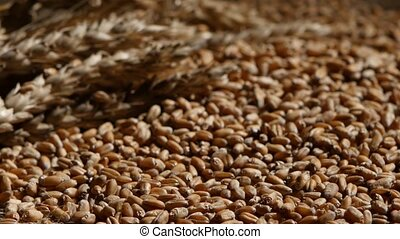 Wheat grains agricultural crop harvest. Rotation. Close up -...