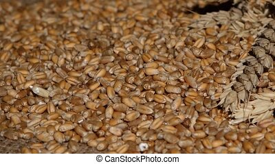 Wheat Rye Cerel plants Close up - Wheat Rye, cerel plants,...