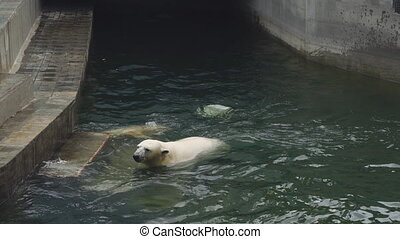 Polar bears at the zoo - Young polar bear and his mother...